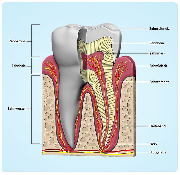 Anatomy Of Our Teeth Dentcoat